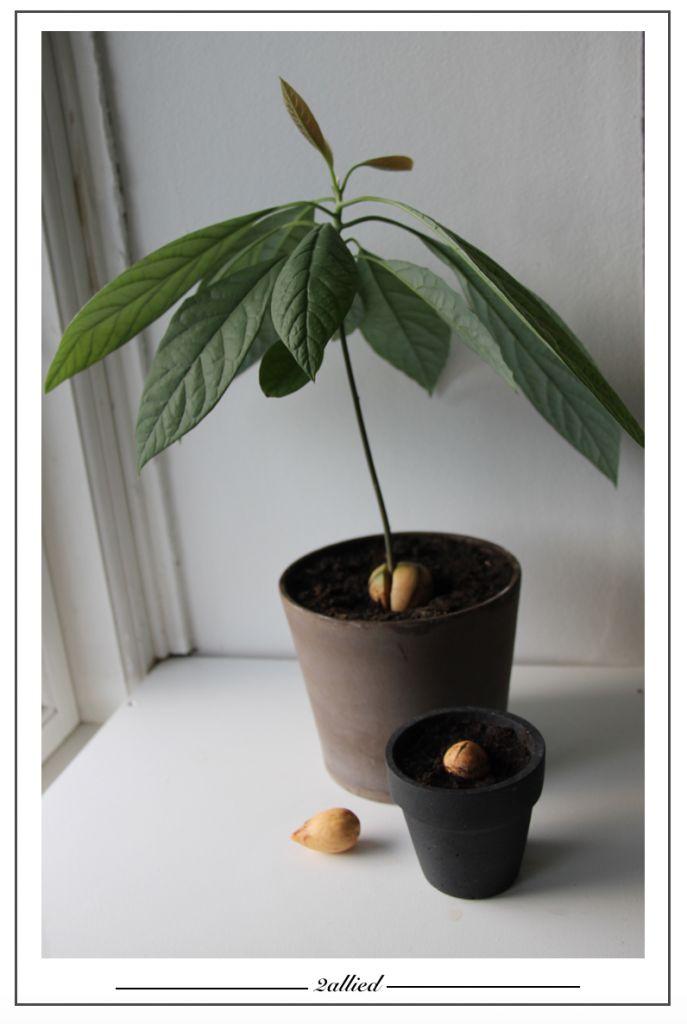 Grow your own avokado tree