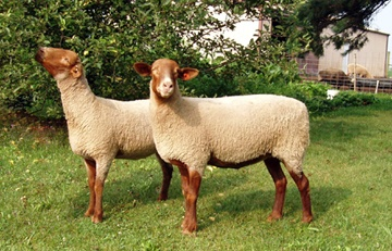 sheep: Tunis -- If I ever manage to actually start my homestead I would really like to have a small spinners flock of Tunis sheep.