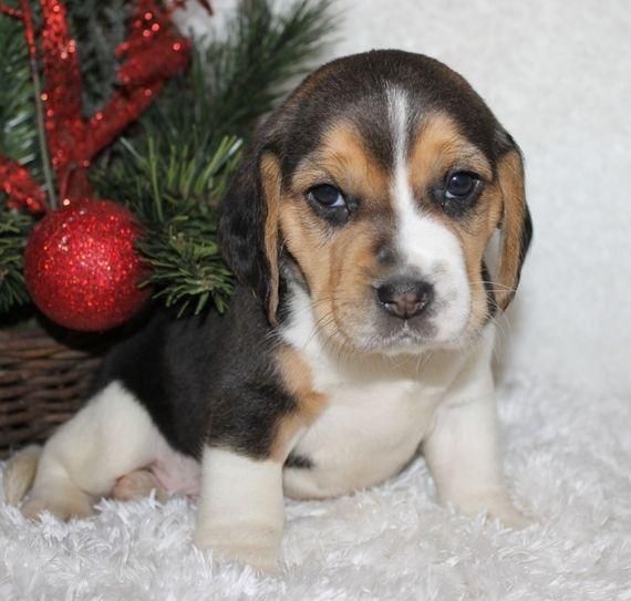 Trevor Beagle Puppy 579679 Puppyspot Beagle Puppy Puppies For