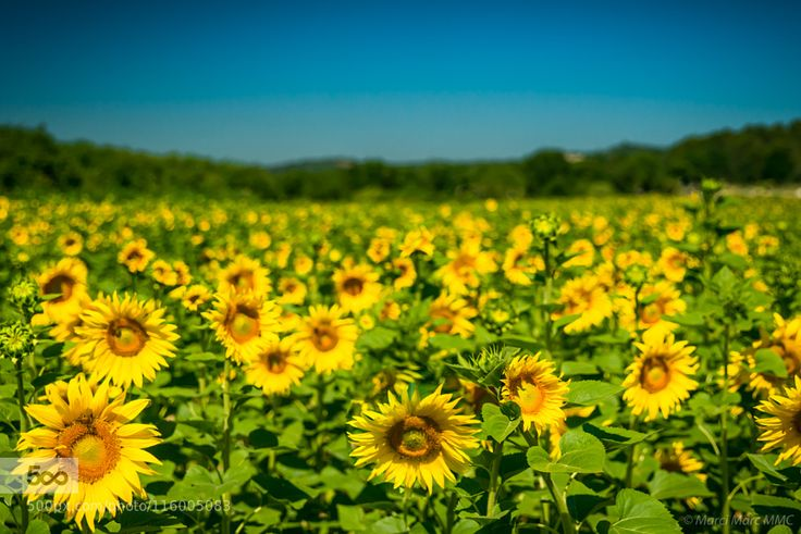 Sonnenblumen in Greoux les Bains by MarciMarcMmc. Please Like http://fb.me/go4photos and Follow @go4fotos Thank You. :-)