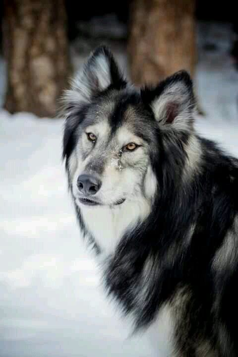 Native American Indian Dog. I had the pleasure of meeting one once. The dog had the coolest vibe; this majestic wisdom about him..Love them.