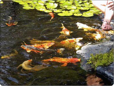 Hand feeding Koi Fish in Middlesex County Massachusetts | http://www.iloveponds.com/koi-fish.html