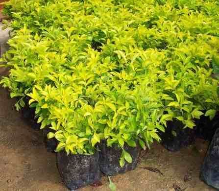 17 best images about plantas para el jardin on pinterest for Especies de plantas ornamentales