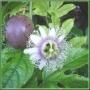 Seminte de Passiflora edulis f. edulis