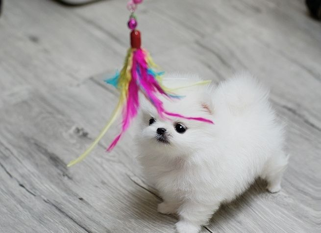 Where can you find cheap teacup Pomeranian puppies for sale online?