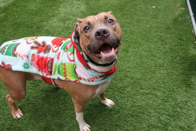 SCULLY - 16399 - - Manhattan TO BE DESTROYED 12/30/17 A volunteer writes: Scully. Without her Mulder? Looking up for UFO's? Maybe. Miss Scully started off as scared in her kennel, as this isn't what she knows. She knows her former family of 2 adults, 2 young children and 2 ferrets, her soft bed, a full food bowl (she's allergic to chicken), and covers to hide under if there's a thunder storm. Scully is finally persuaded that I'm a friend, and