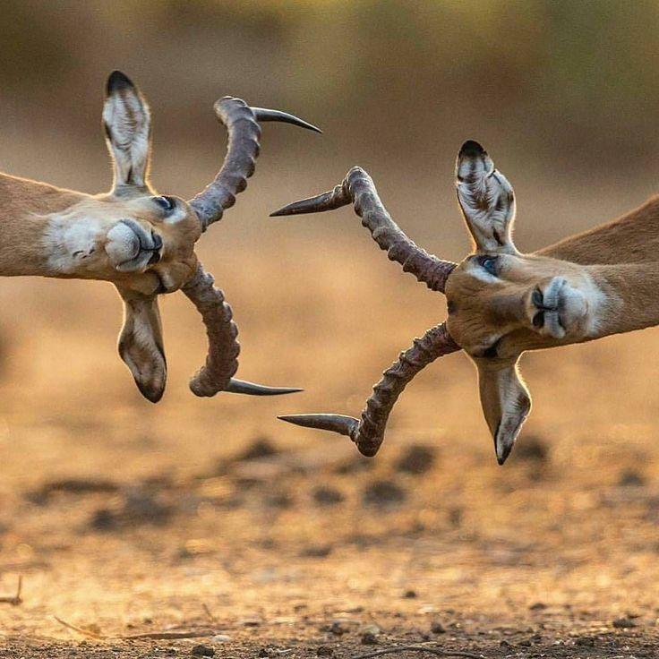 Se você é feio aprenda a dançar  Provérbio Zambiano  No ritual da conquista beleza não é tudo e de forma até irônica os povos nos ensinam isso.  Foto: Impalas em Old Mondoro Zambia por @kanwar_juneja
