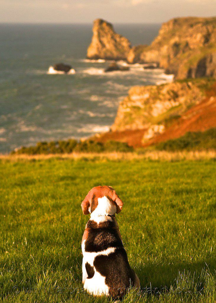 Enjoying the view..  When they're not barking, begging or sleeping, beagles can sit and stare for a long, long time.