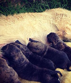 Irish Wolfhound Puppies for sale ( Male, R8000 )