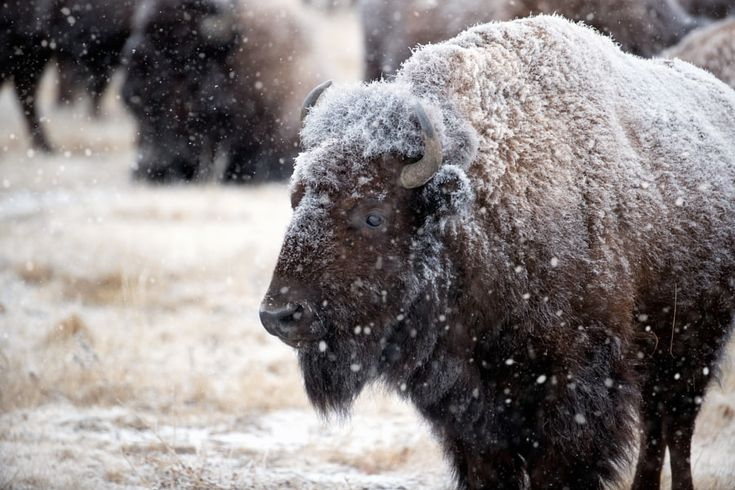 A Harsh Winter - A wild mature American Bison takes in the snowstorm that has engulfed himself and the rest of his herd on a cold winter's morning at the Rocky Mountain Arsenal National Wildlife Refuge - Denver CO