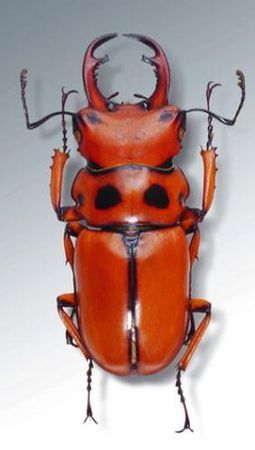 red and black stag beetle (family Lucanidae)