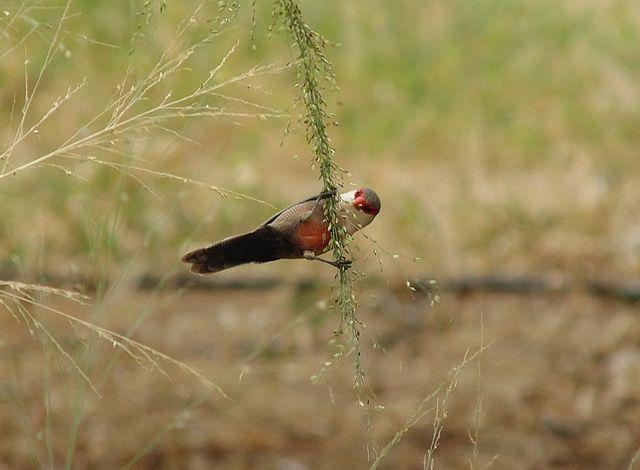 Foto bico-de-lacre (Estrilda astrild) por Evaldo HS Nascimento | Wiki Aves - A Enciclopédia das Aves do Brasil