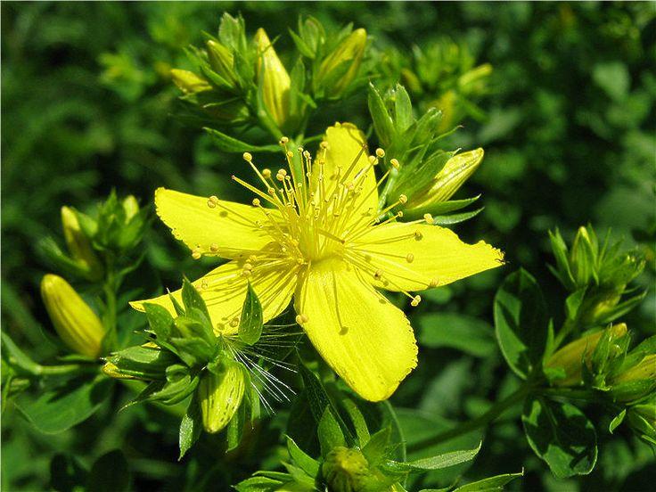Дикорастущие съедобные растения для питания - img_7292