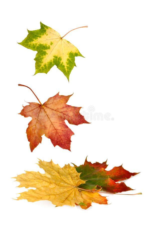 Colorful Maple Leaves Falling Down Isolated Maple Leaves In Bright Vibrant Autu Affiliate Leaves Fallin Maple Leaf Logo Autumn Leaves Fall Leaf Wedding