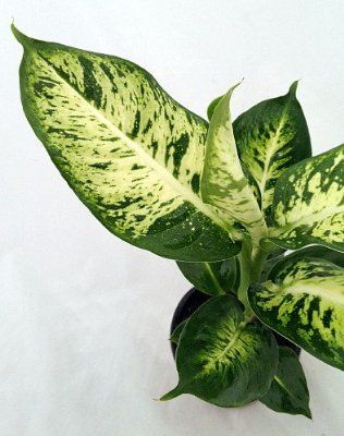 57 Best Dieffenbachia Images On Pinterest Indoor House