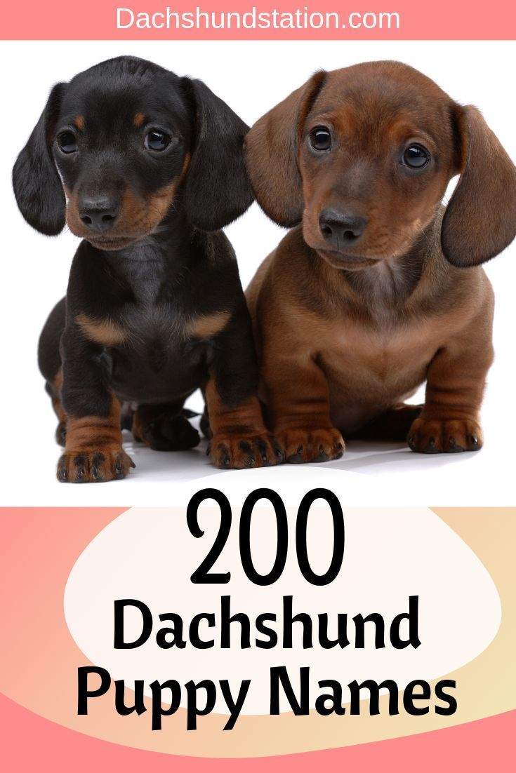 What Is A Good Name For A Dachshund 2019 Best Names Cute Names