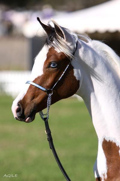 Pretty Pinto/Arabian Cross