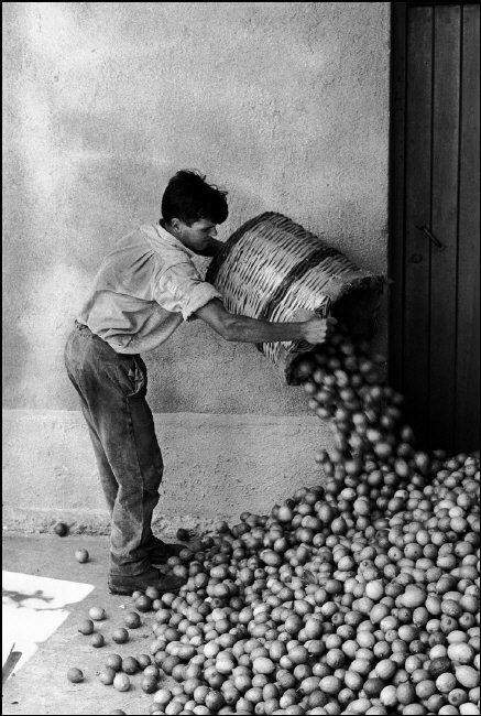 Ferdinando Scianna Bagheria: harvesting lemons. 1961 50 notes