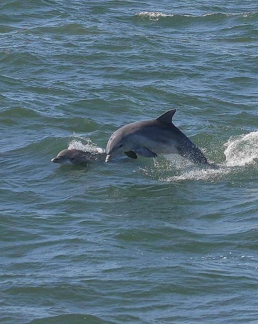 Atlantic Bottlenose Dolphins By Brett Nj Via Flickr