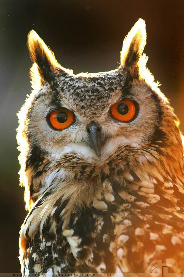 Glorious Owl -