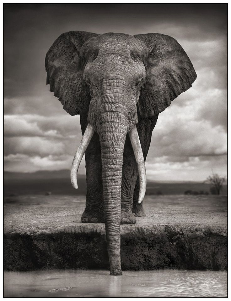 Souvent artnet Galleries: Elephant Drinking, Amboseli by Nick Brandt from  EZ37