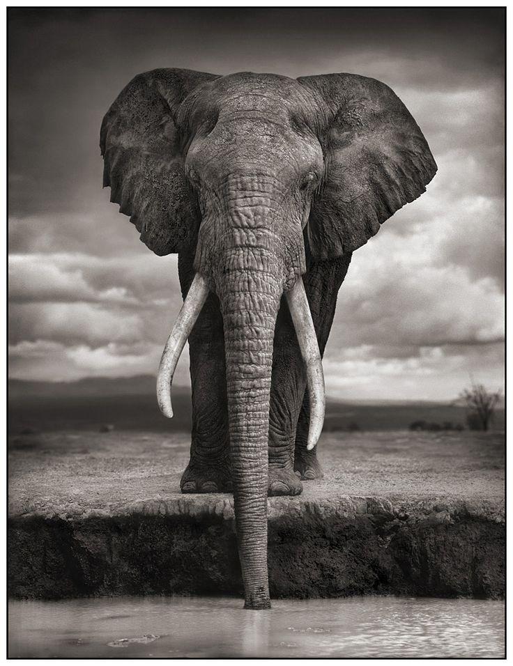 Superbe éléphant en noir & blanc