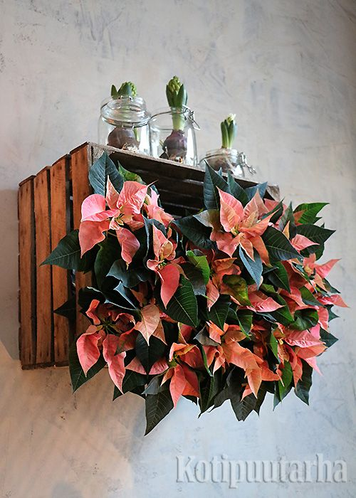 Joulutähdistä on nykyään saatavilla ihania uusia värejä, tässä lohenpunaiseen vivahtava lajike.