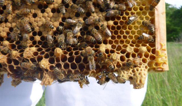 Ορεινή Μέλισσα: Πολλαπλασιασμός των μελισσιών για νέους μελισσοκόμους