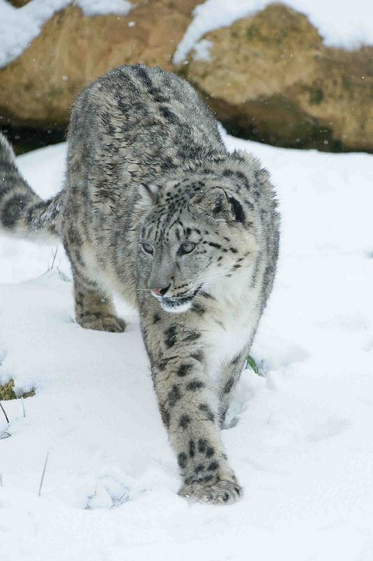 Snow Leopard (by Andy Silver). The snow leopard, known for its beautiful, thick fur, has a white, yellowish or soft gray coat with ringed spots of black on brown. The markings help camouflage it from prey. With their thick coats, heavy fur-lined tails and paws covered with fur, snow leopards are perfectly adapted to the cold and dry habitats in which they live.