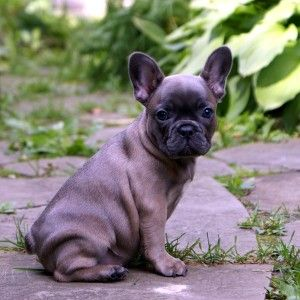 Blue Fawn Frenchie. SO BEAUTIFUL! I love her coloring, like a Siamese cat's. I would call her Violet, the name I'd also had in mind for a blue pit. Wouldn't want my folks to be frightened of my four-legged friend, though. ♥