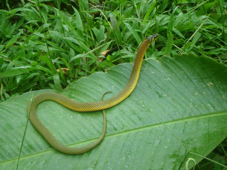 A little Liophis reginae crossed our way. What a beautiful snake !