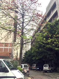 This picture was taken outside the detention center. The kapok blossom is beautiful, but the people who lost their liberty could not see it. 这是在看守所门口拍的。木棉花开得正盛,高墙之内的人却看不到。