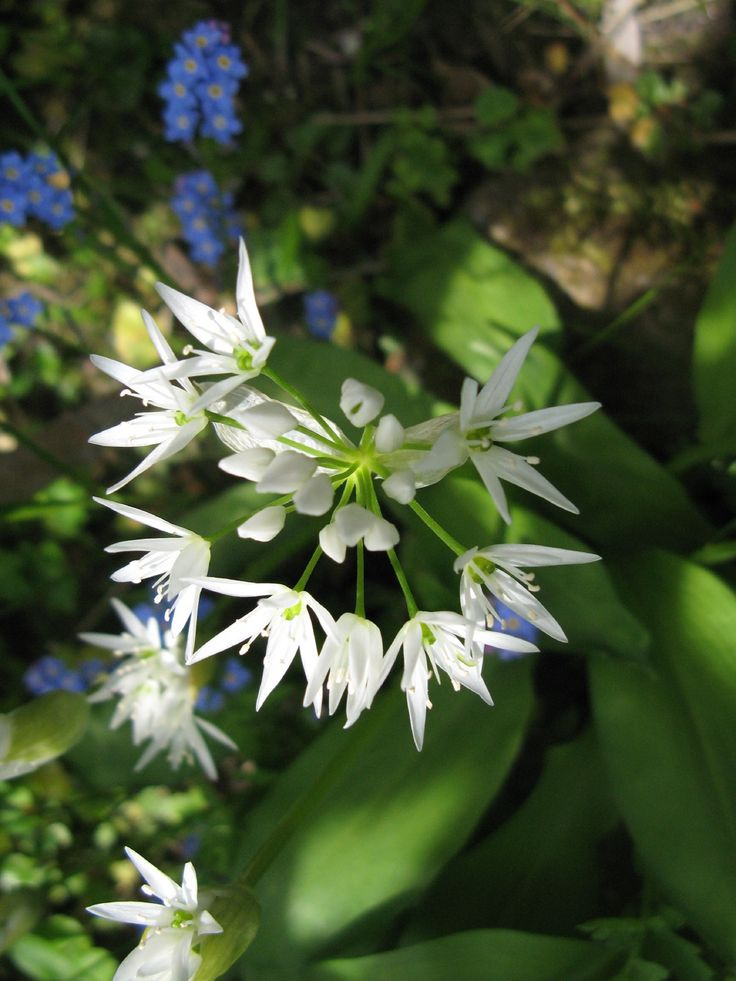Daslook, blad kan in de sla, uiensmaakje Allium ursinum