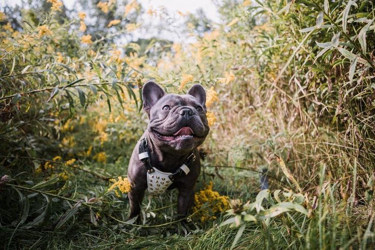 My A Team Son Mister Knuckles Is My Absolute Mini Me A Short Stacked Blue Frenchie With A Huge Head Wi With Images Frenchie Bulldog French Bulldog Blue French
