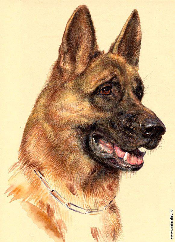 Немецкая овчарка; собака (Акварель) [Анималистика ...