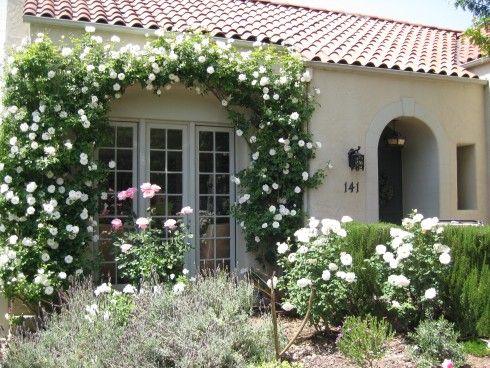 Белая вьющаяся роза «Айсберг»