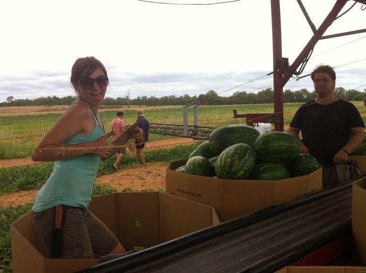 Picking Watermelons in Queensland, Australia, Drifter Alley, Travel Photos