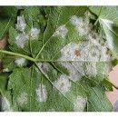 El Mildiu: Características, Tipos Y Cómo Tratarlo En Agricultura Ecológica