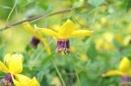 Shade Loving Plants: Flowers Gardens, Gardens Ideas, Gardens Tops, Gardens Inspiration, 50 Shades, Shades Plants, Gardens Yard, Gardens Techniques, Clematis Tangutica