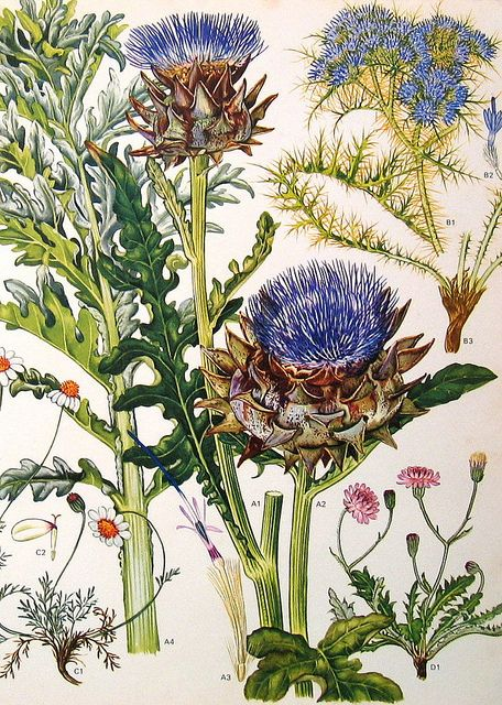 What appears to be a botanical illustration of thistles, chamomile, and chicory.