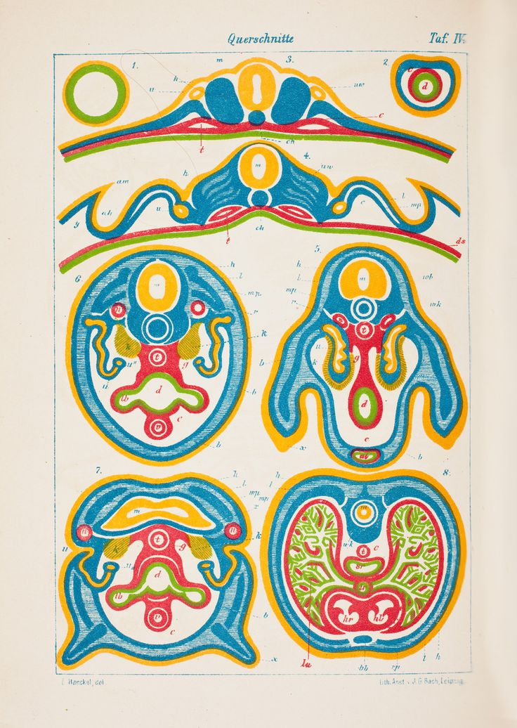 Des couches de cellules dans l'embryon – HAECKEL, Ernst (1834-1919) -  Hagströmer Medico-Historical Library