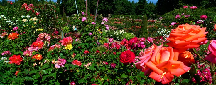 Love Garden Roses: Love Visiting The Rose Garden In Portland, Oregon...great