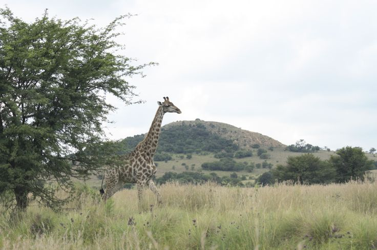 The abundance of tall trees is to the advantage of giraffes who thus have no feeding competition. Photo credit: Tracey Fourie