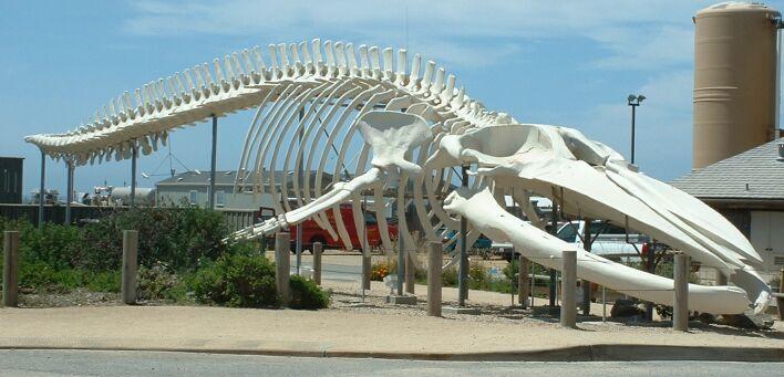 Blue whale skeleton, outside the Long Marine Laboratory at the University of California, Santa Cruz