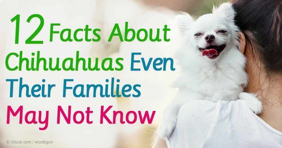 Chihuahuas are the smallest dog breed, with average-size adults weighing just 4 to 6 pounds and standing a mere 6 to 10 inches high. http://healthypets.mercola.com/sites/healthypets/archive/2015/10/16/chihuahua.aspx
