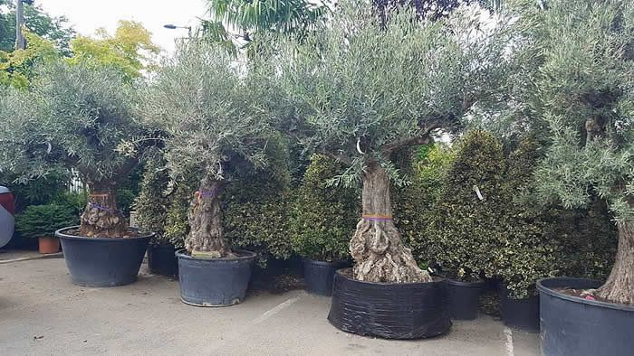 old olive trees for sale uk