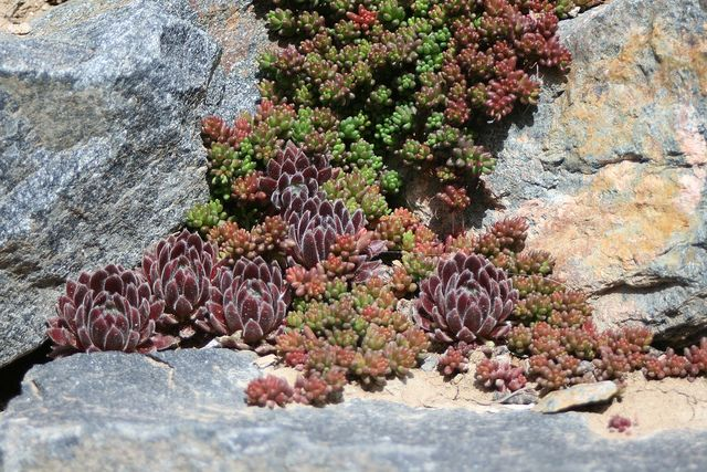 Sedum hispanicum and purple sempervivums living in the rock cracks of a retaining wall