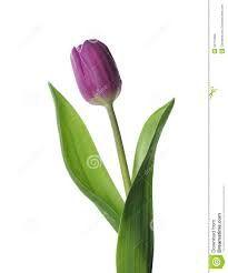 Image result for purple tulip