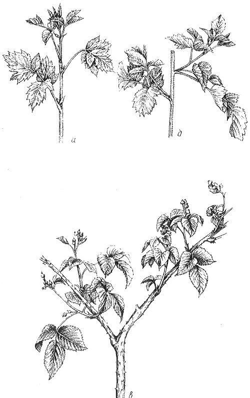 Ежевику обрезают следующим образом: когда молодые побеги достигают в высоту 60см, их укорачивают, срезая от верхушки 10см (рис. 1); из боковых почек развиваются побеги; в таком виде растения зимуют. Весной все разветвления укорачивают до 40—60см.