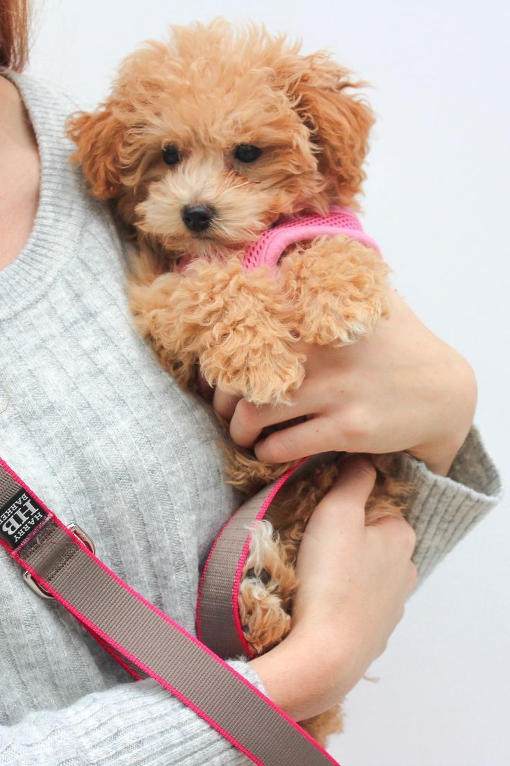 Answering All Your Ranger Questions Maltipoo Puppy Baby Animals Funny Training Your Dog